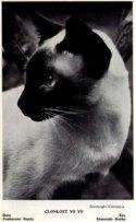 Classic Siamese cat