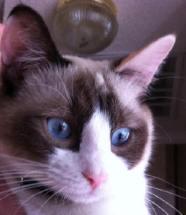 Cat with Snowshoe facial markings