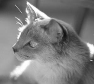 Presidential-looking Siamese cat