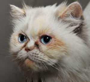 Flame Point Himalayan Persian cat