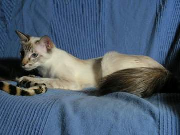 Seal Lynx (Tabby) Point Balinese cat