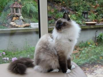 Seal Point Birman cat showing white feet