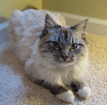 Blue Lynx Point Birman cat
