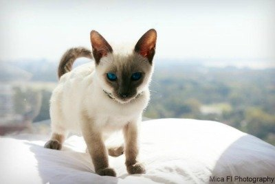 Blue Point Siamese kitten
