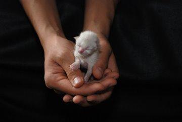 Hands holding newborn kitten