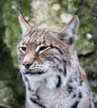 Close-up of a European wild lynx