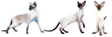 Modern show-style Siamese cats; slim, elegant and graceful