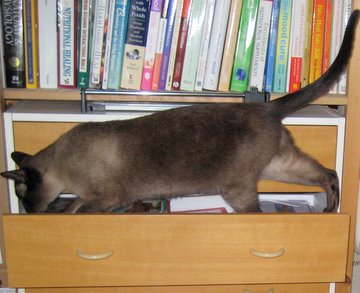 Siamese cat exploring a drawer!