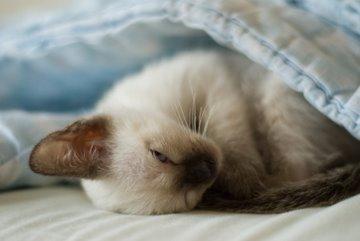 Siamese kitten waiting for adoption