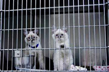 Cats behind bars at a Siamese Rescue center
