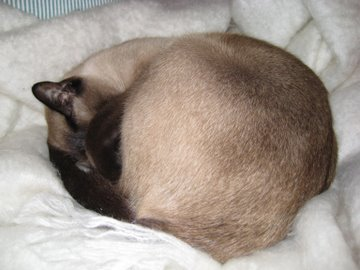 Siamese cat asleep on blanket
