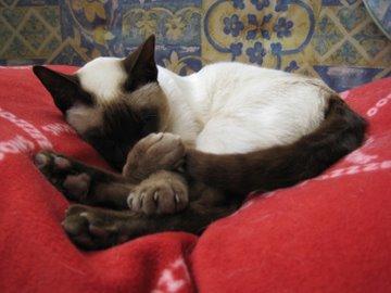 Chocolate point Siamese cat asleep on cushion
