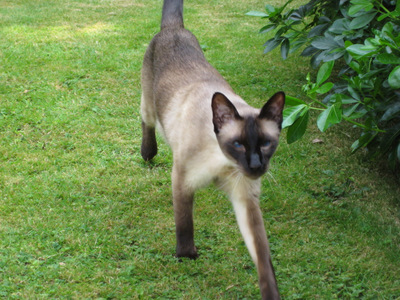 Siamese cat in garden