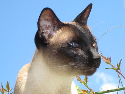 Siamese cat in close-up against blue sky