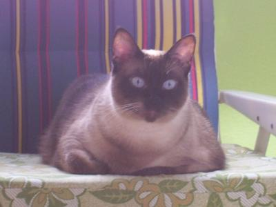 Siamese cat, seated