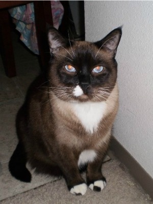 Part Siamese Cat White And Tan