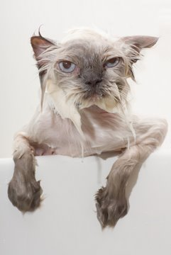 Bathing doesn't always result in a happy cat