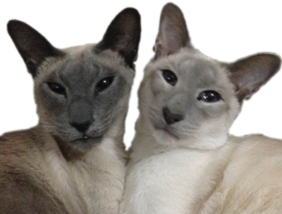 A blue point and a lilac point Siamese cat side-by-side