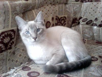 Cry Baby, My Lynx Point Siamese