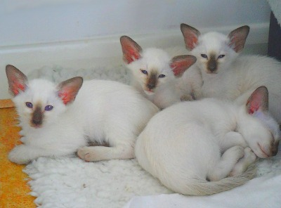 Siamese kittens from Daintipawz