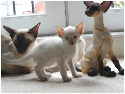 Daintipawz Siamese cats - spot the statue!