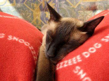 Do cats dream? Close-up of sleeping Siamese cat