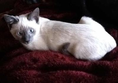 My lilac point Siamese, Dottie