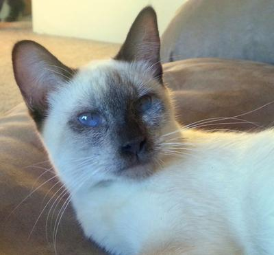Mya, chocolate point Siamese