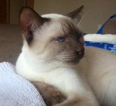 Benny, chocolate point Siamese