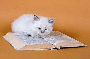 White kitten studying book