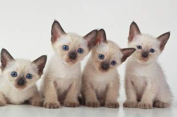 Curious Siamese kittens