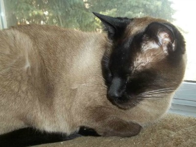 My life as a Siamese cat on the street<br><em>(translated from Siamese to English)</em>