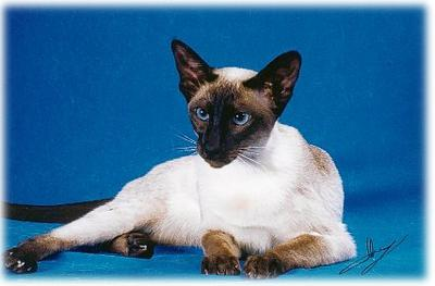 Siamese Cat Breeders in the United States