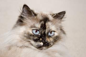Tortie Point Himalayan Persian cat