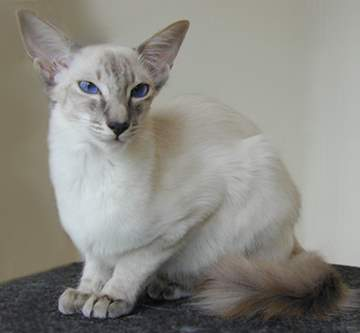 Blue Lynx Point Javanese cat