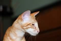 Javanese cats - Red Tabby Oriental Longhair