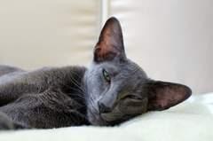 Javanese cats - Blue Oriental Shorthair