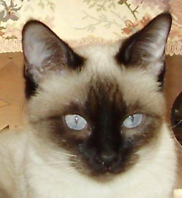 Siamese cat from Katz Meow