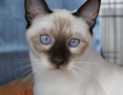 Siamese cat from La Corte del Siam