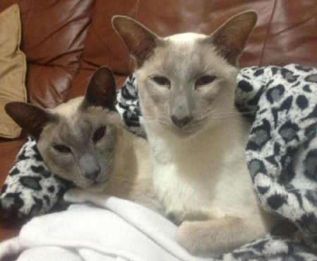 Blue and Lilac Point Siamese cats side by side