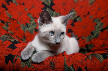 Lilac Point Siamese kitten on red background