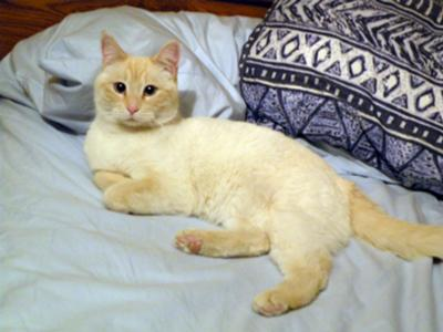Emi - a Flame Point Siamese?