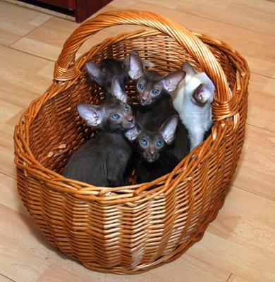 Mazpahs Siamese and Orientals kittens