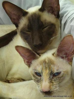 Siamese cats from Myprecious North West Siamese