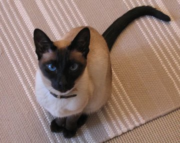 An Old Fashioned, Classic Siamese cat