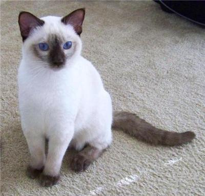 Old-Style Siamese from Permes Cats