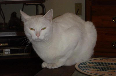 White cat with yellow eyes, Piki
