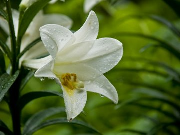 Easter lily; poisonous to cats