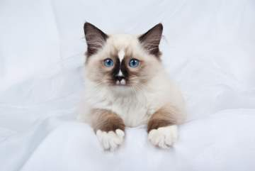 Ragdoll cat breed - Mitted variety