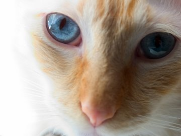 Red Point Siamese cat with bright blue eyes